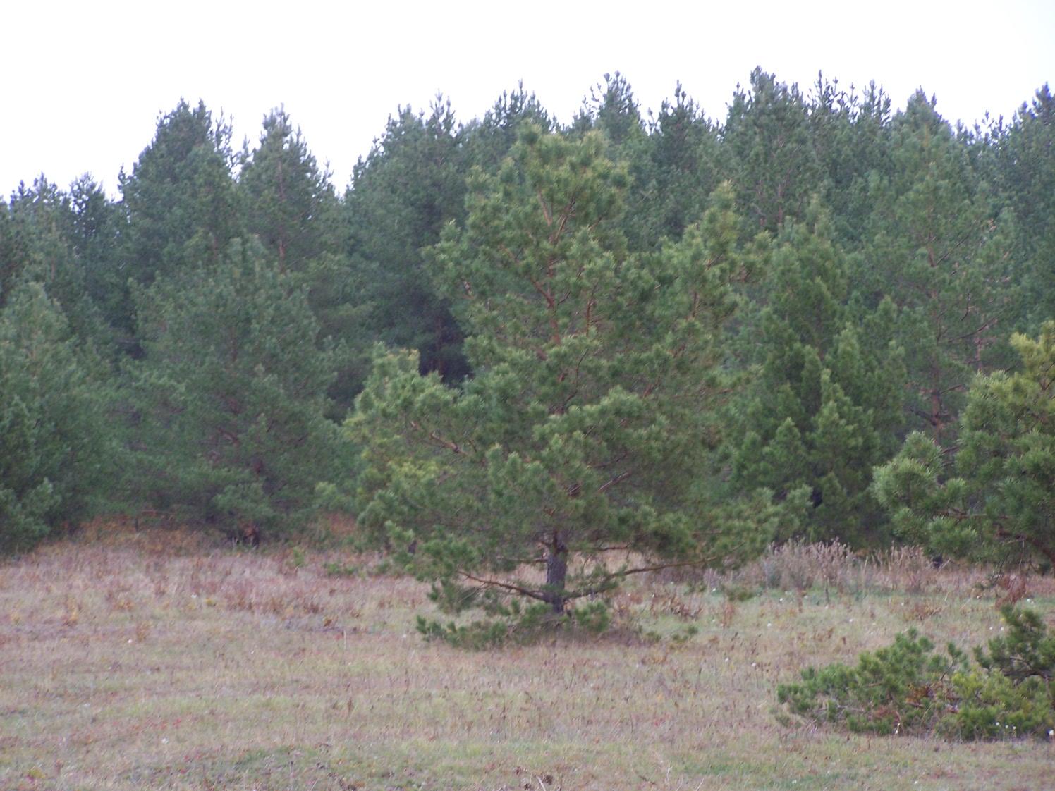 Молодые лесопосадки у Семиключья