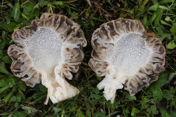 Сморчок (Morchella esculenta)