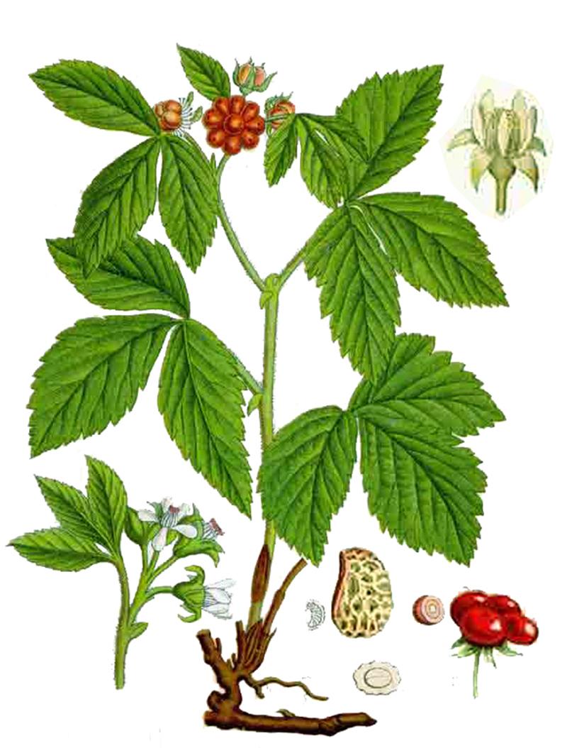 Костяника каменистая (лат. Rubus saxatilis)