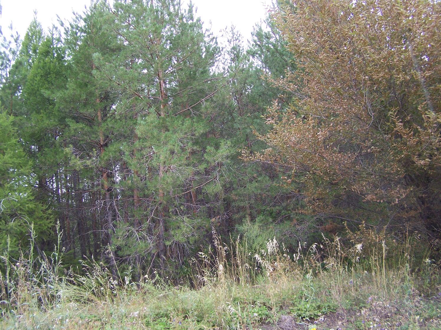 Анютинские сосновые посадки