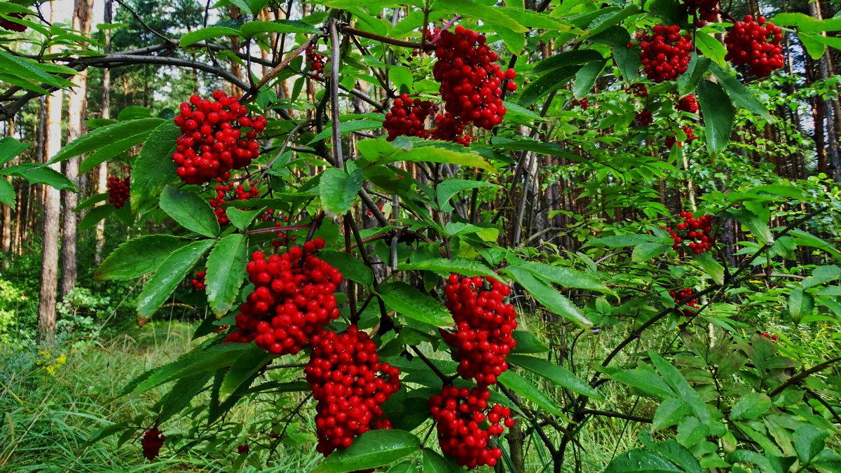 Бузина красная (лат. Sambúcus racemósa)
