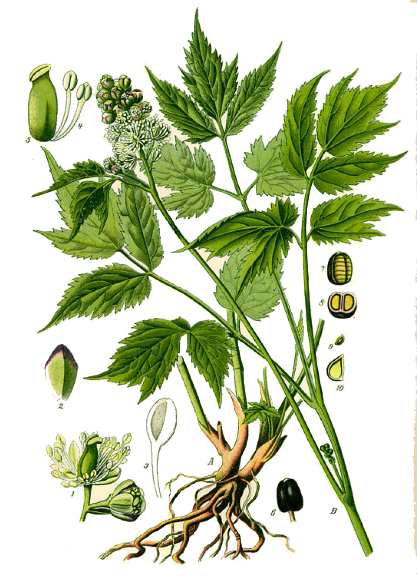 Воронец колосистый (лат. Actaéa spicáta)