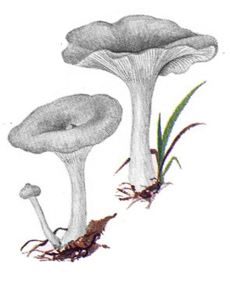 Лисичка горбатая (Cantharellula umbonata)
