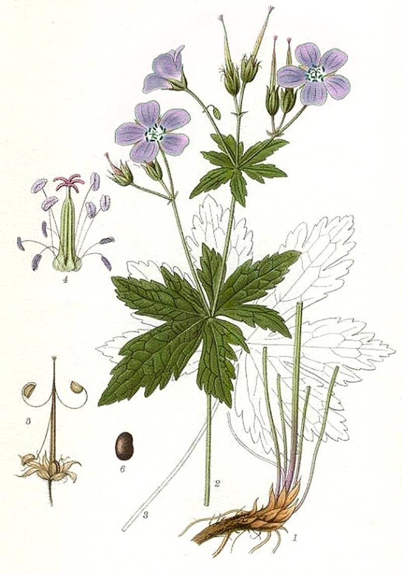 Герань луговая (лат. Geránium praténse)