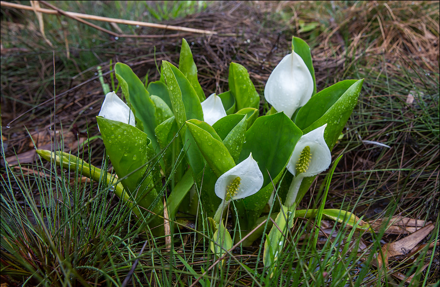 Белокрыльник болотный (лат. Calla palustris)