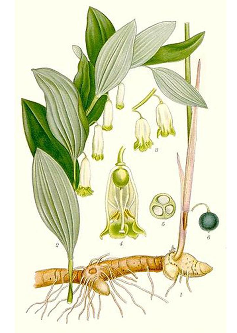 Купена лекарственная (лат. Polygonátum odoratum)