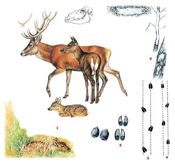 Олень благородный (лат. Cervus elaphus)