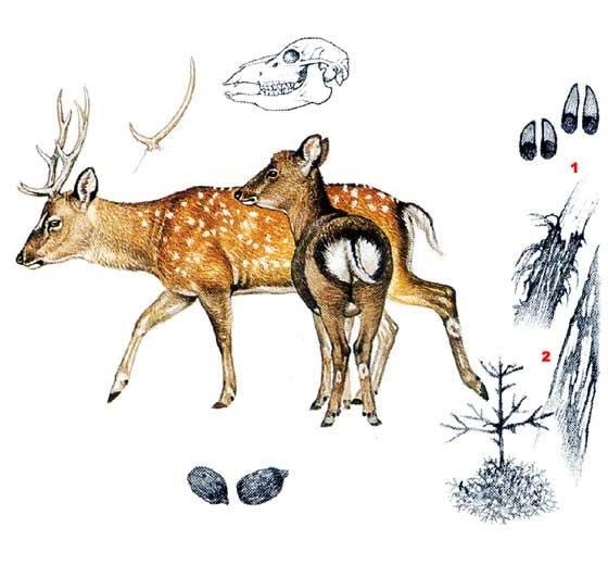 Олень пятнистый (лат. Cervus nippon)