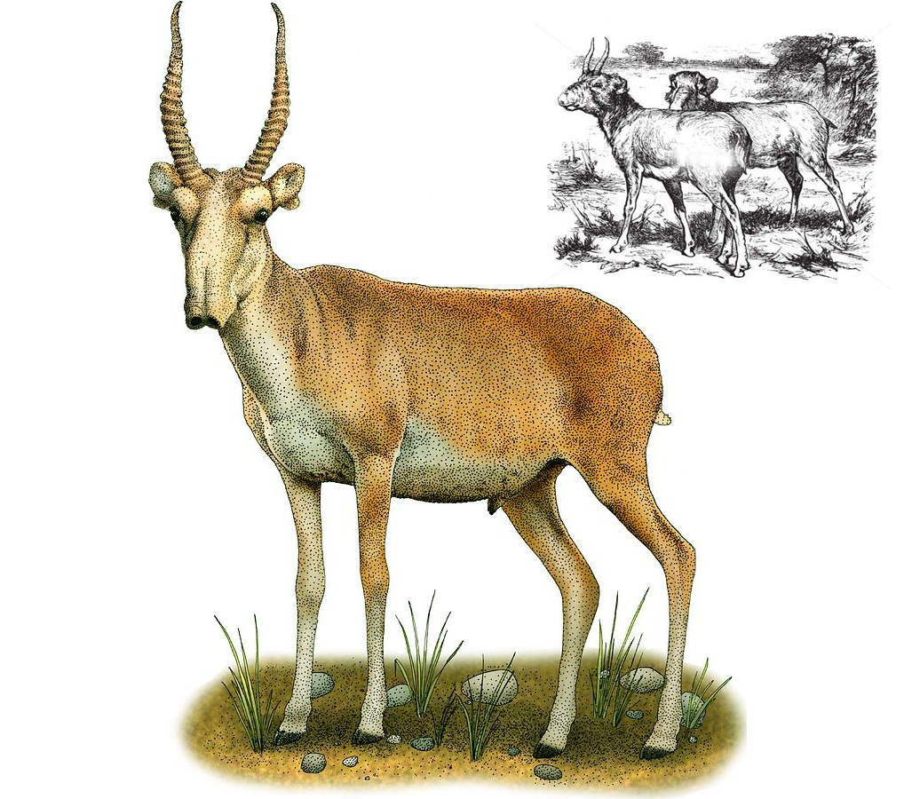 Сайгак (лат. Saiga tatarica)
