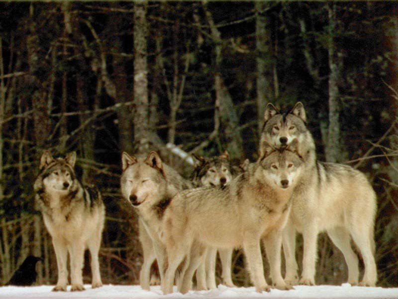Волк (лат. Canis lupus)