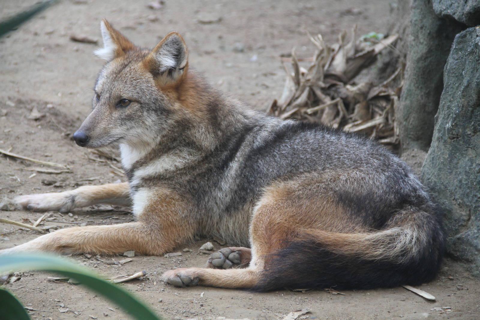 Шакал (лат. Canis aureus)