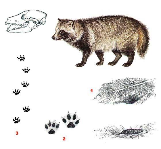 Енотовидная собака (лат. Nyctereutes procyonoides)