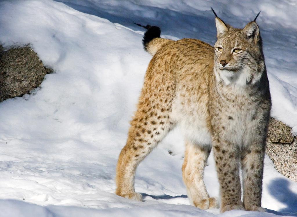 Рысь обыкновенная (лат. Lynx lynx)