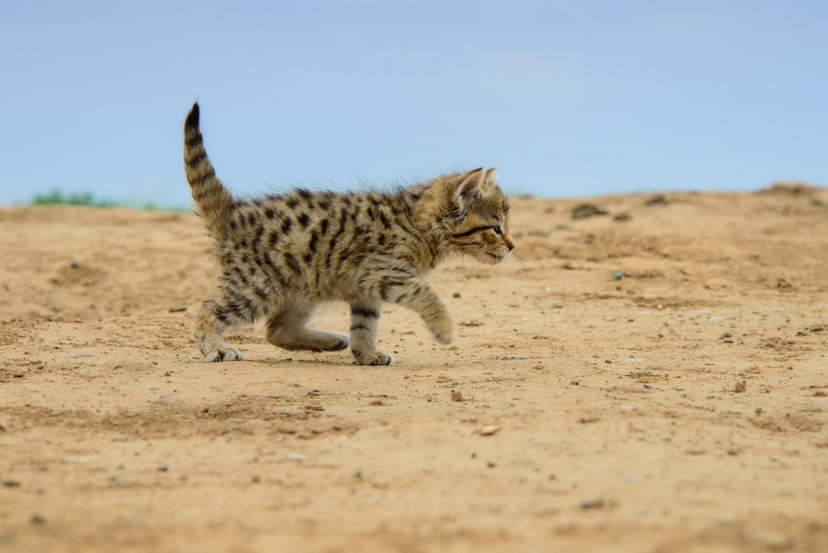 Степной кот (лат. Felis silvestris lybica)