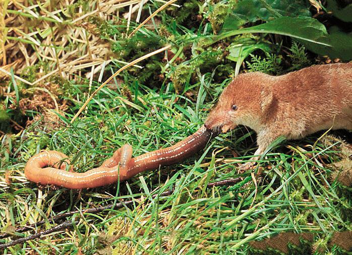 Бурозубка обыкновенная или лесная землеройка (лат. Sorex araneus)