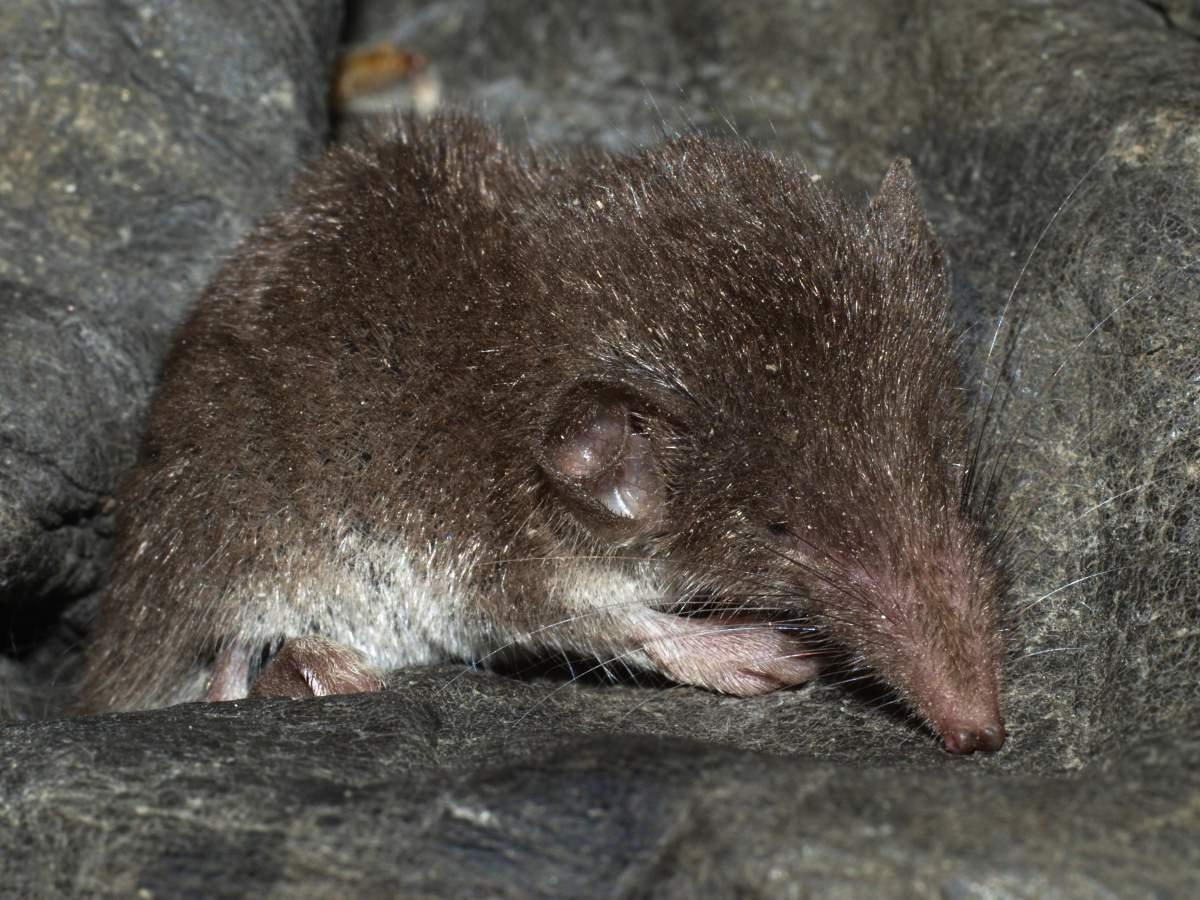 Белозубка белобрюхая или ушастая белозубка (лат. Crocidura leucodon)