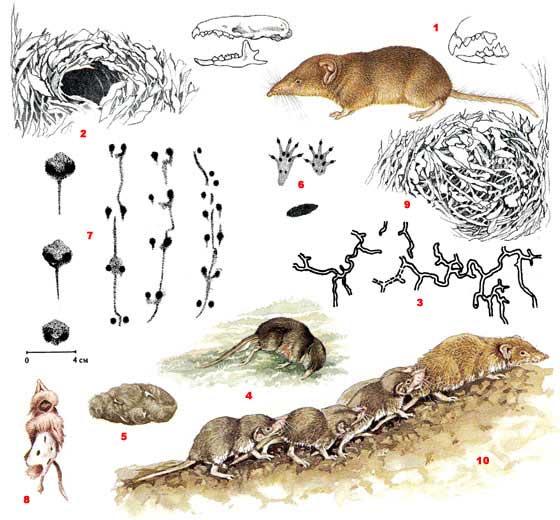 Белозубка малая (лат. Crocidura suaveolens)