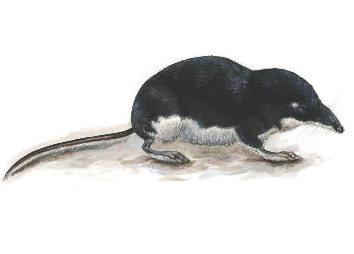 Кутора обыкновенная или водяная землеройка (лат. Neomys fodiens)