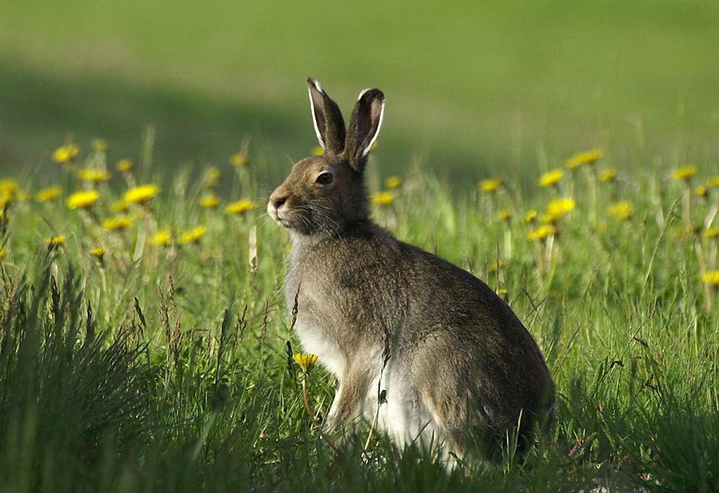 Заяц-беляк (лат. Lepus timidus)