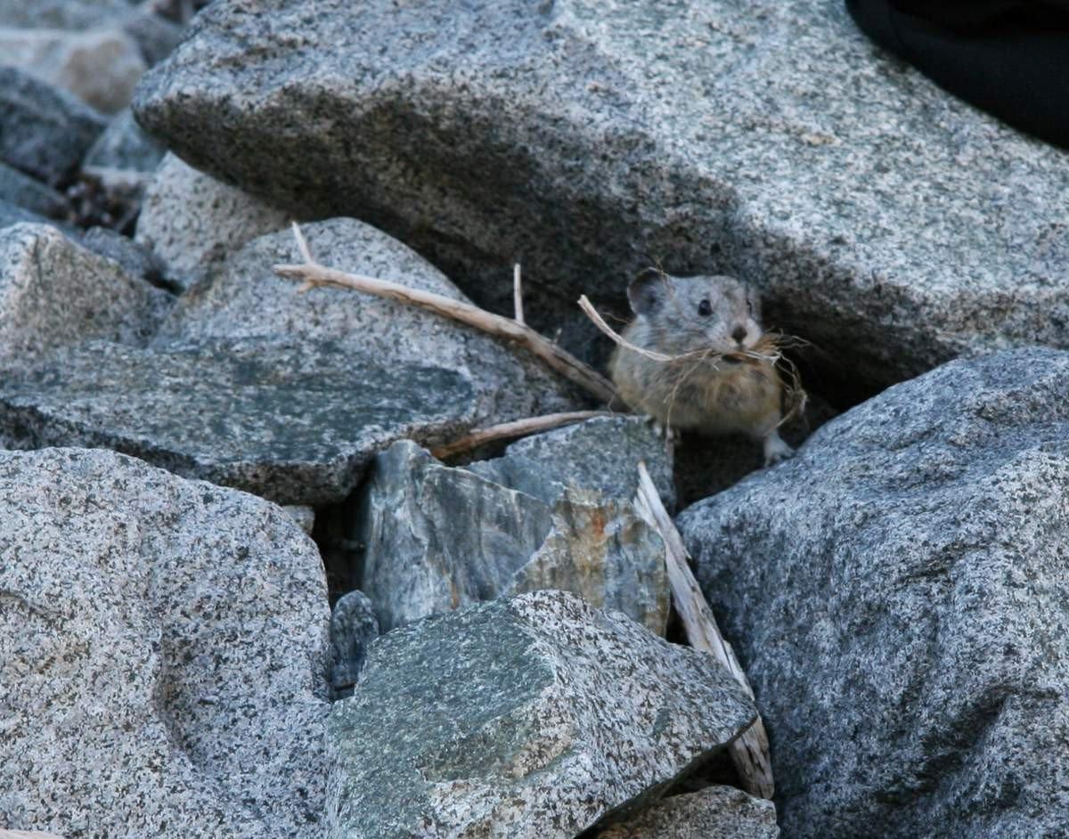 Пищуха малая, или степная (лат. Ochotona pusilla)