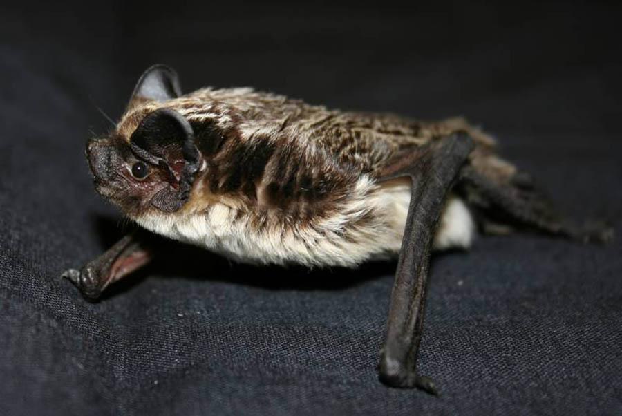 Кожан двухцветный (лат. Vespertilio murinus)