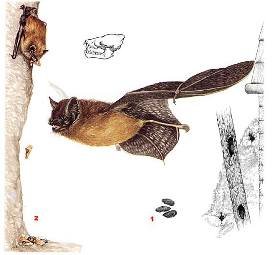 Кожан поздний (лат. Eptesicus serotinus)