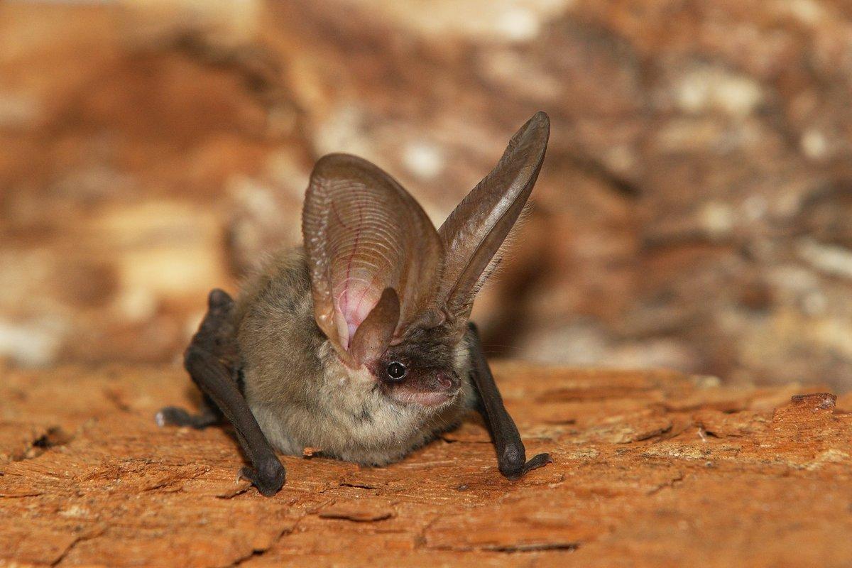 Ушан бурый (лат. Plecotus auritus)