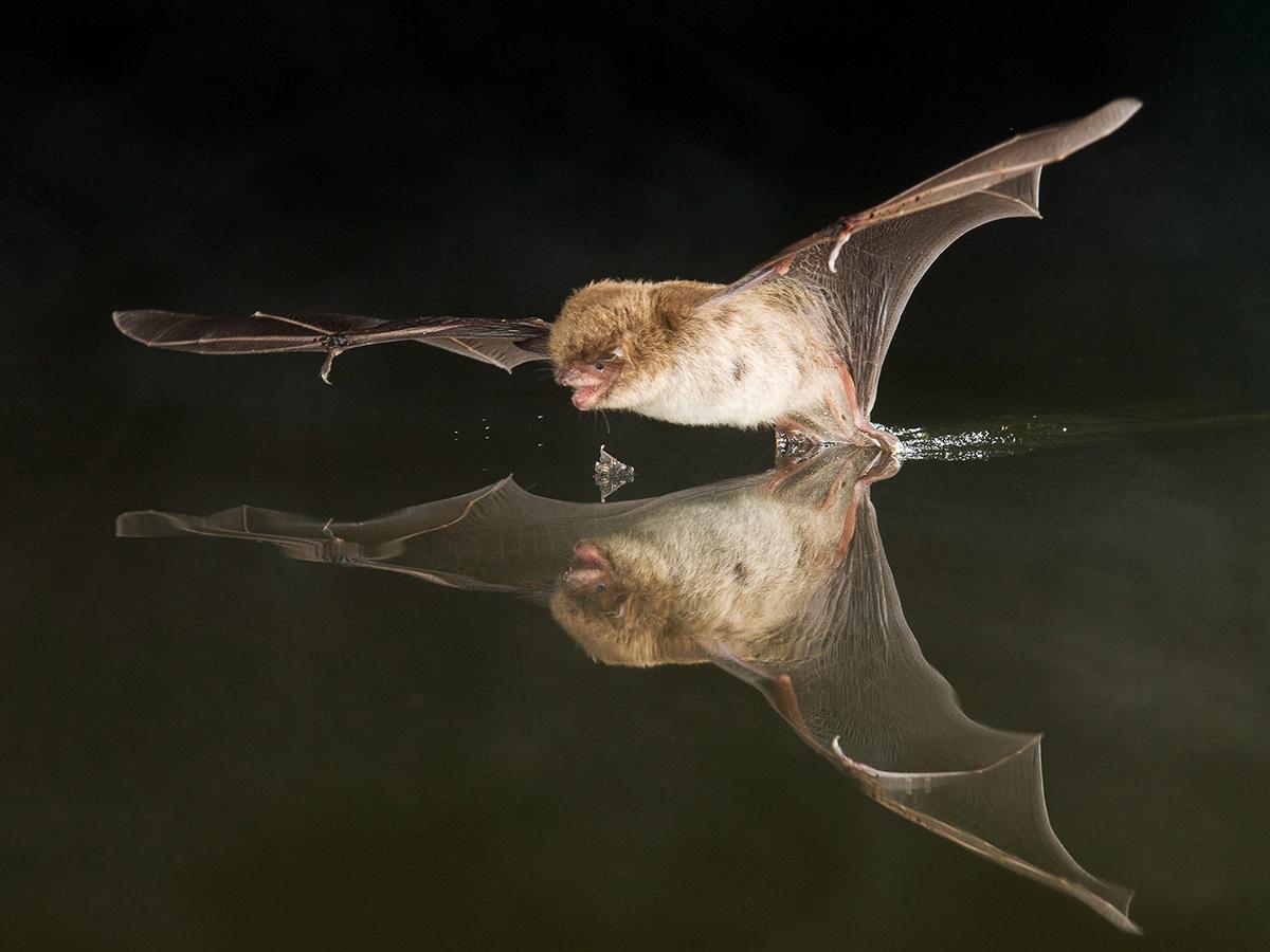 Ночница водяная (лат. Myotis daubentonii)