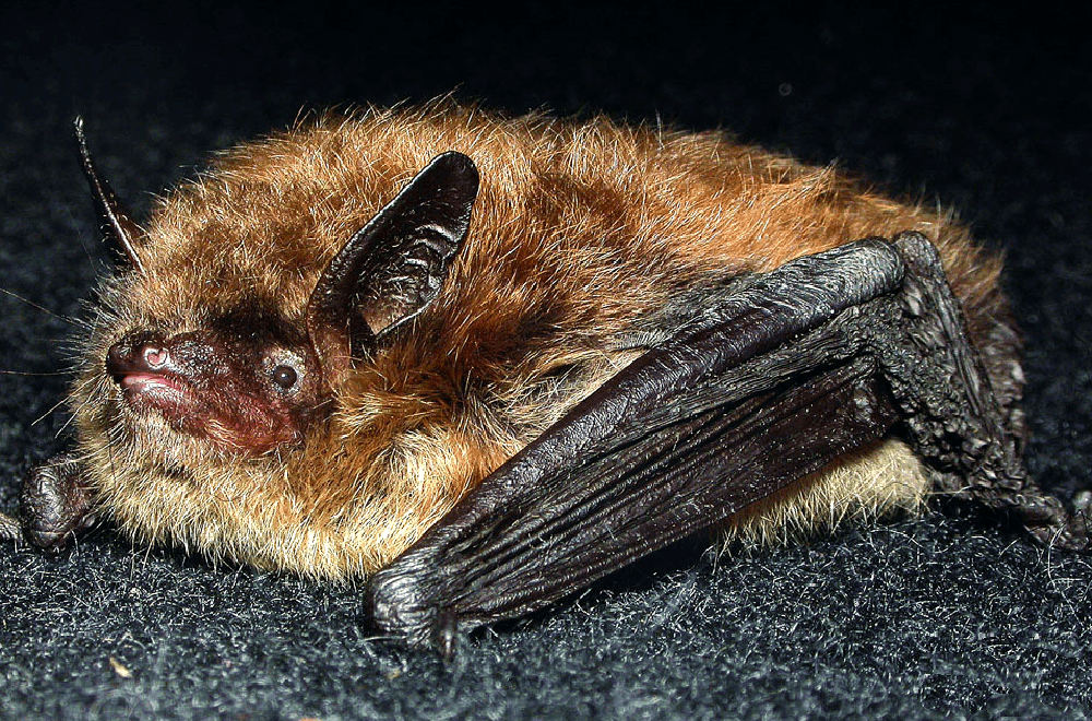Ночница Брандта (лат. Myotis brandtii)