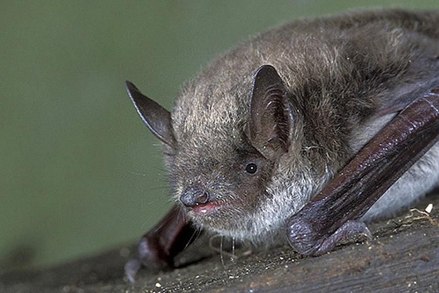 Ночница прудовая (лат. Myotis dasycneme)