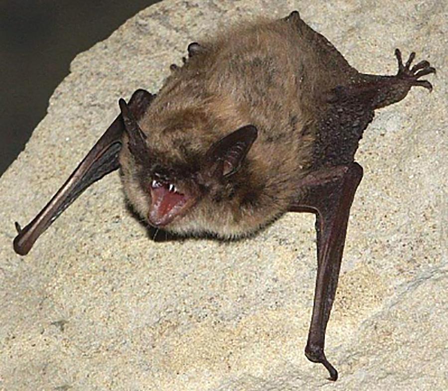 Ночница степная (лат. Myotis davidii)