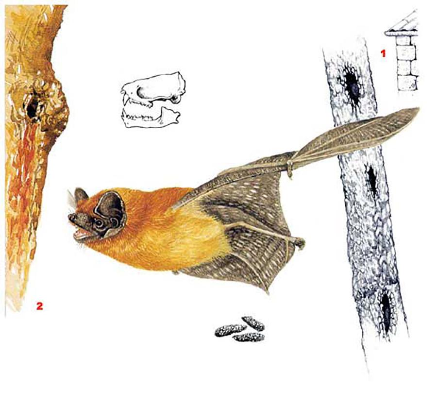 Вечерница рыжая (лат. Nyctalus noctula)