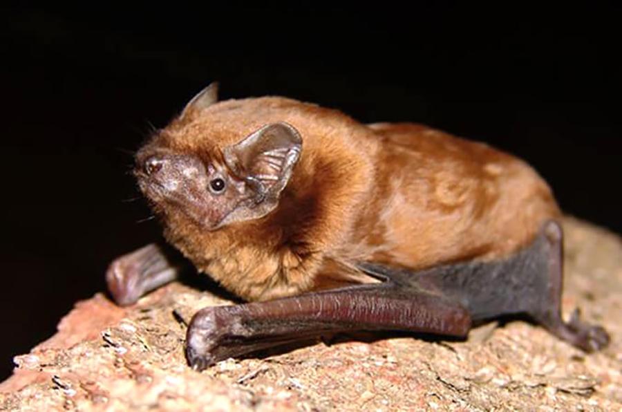 Вечерница малая (лат. Nyctalus leisleri)