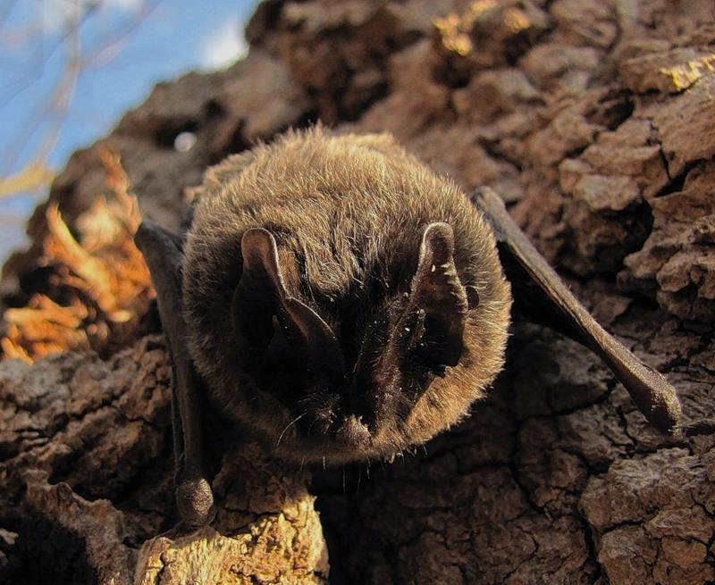Нетопырь лесной (лат. Pipistrellus nathusii)