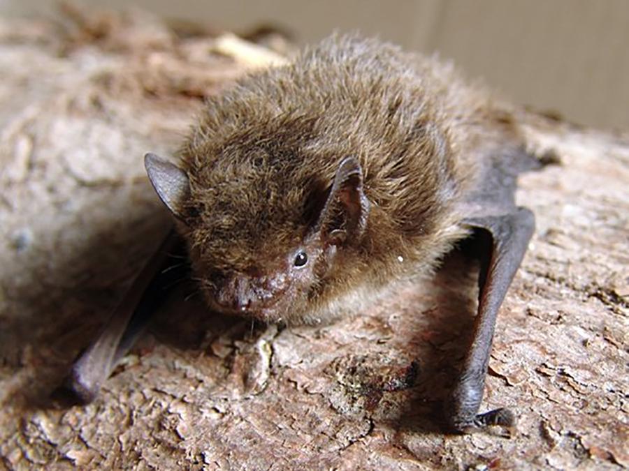 Нетопырь малый (лат. Pipistrellus pygmaeus)