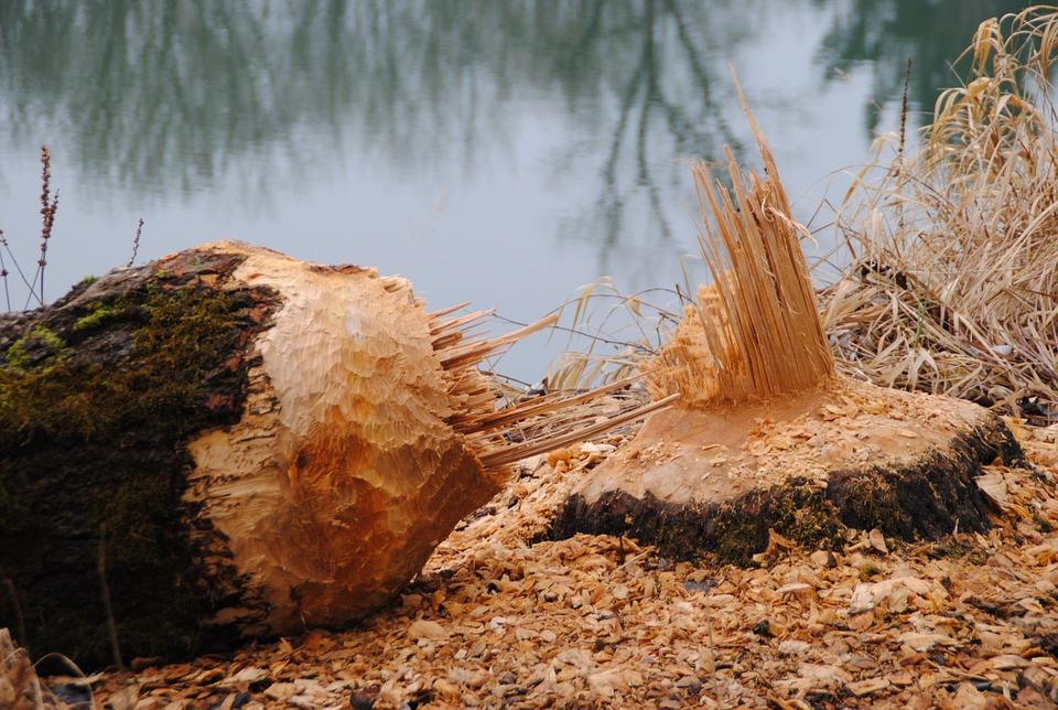 Бобр обыкновенный, или речной (лат. Castor fiber)