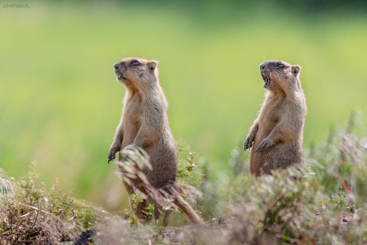 Сурок степной, или Байбак (лат. Marmota bobak)