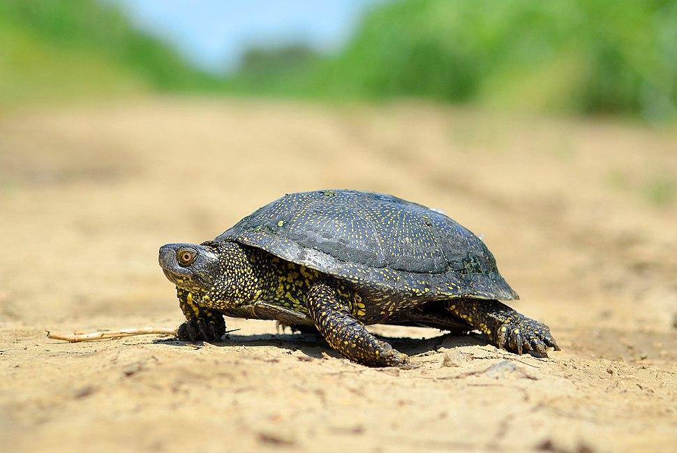 Черепаха болотная (лат. Emys orbicularis)