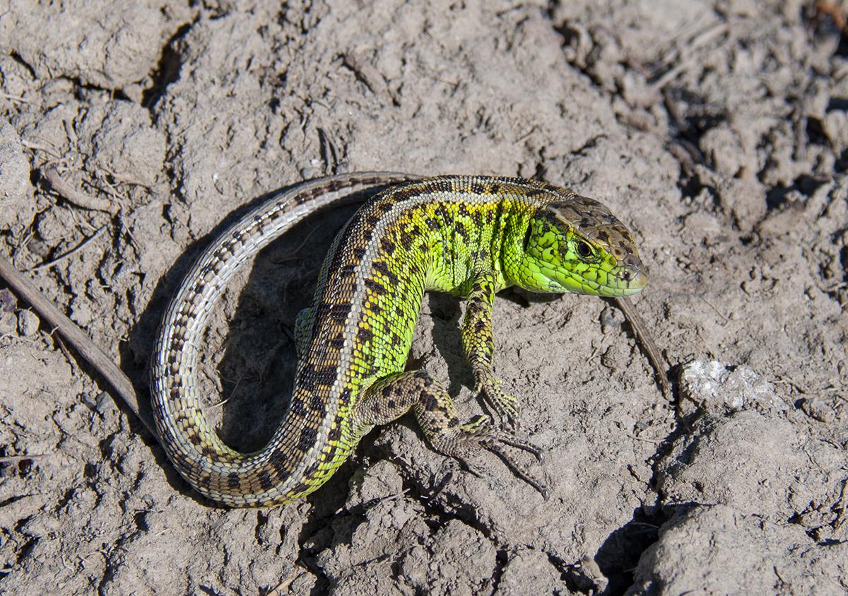 Ящерица прыткая (лат. Lacerta agilis)