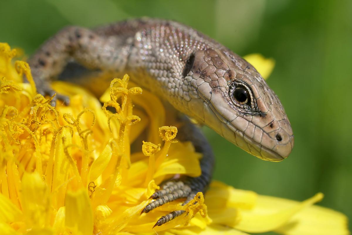 Ящерица живородящая (лат. Zootoca vivipara)