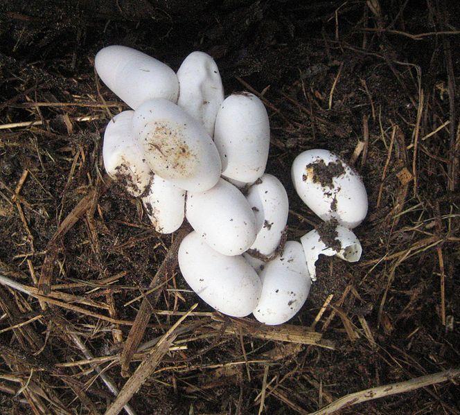 Уж обыкновенный (лат. Natrix natrix)