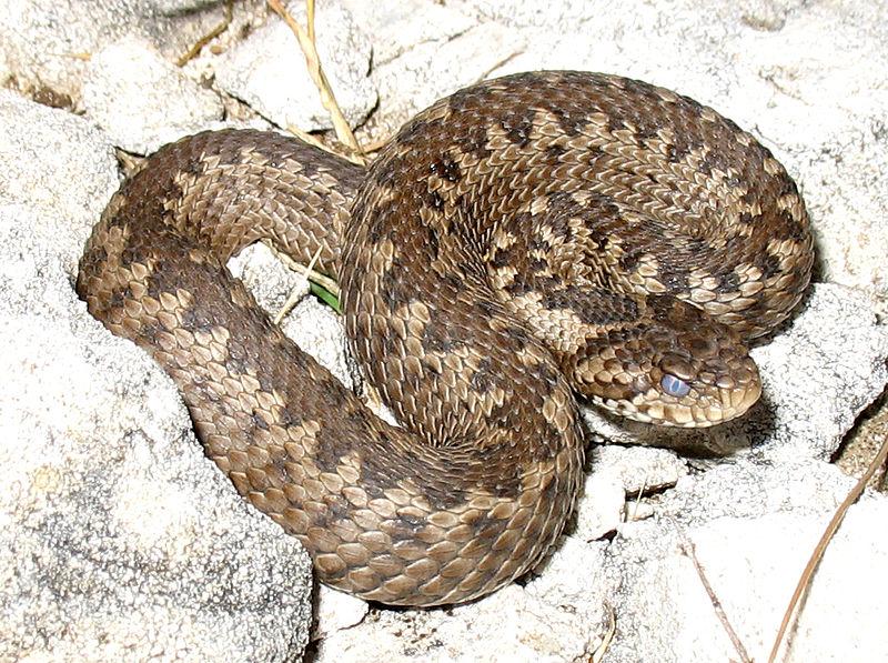 Гадюка степная (лат. Vipera ursinii или лат. Vipera renardi)