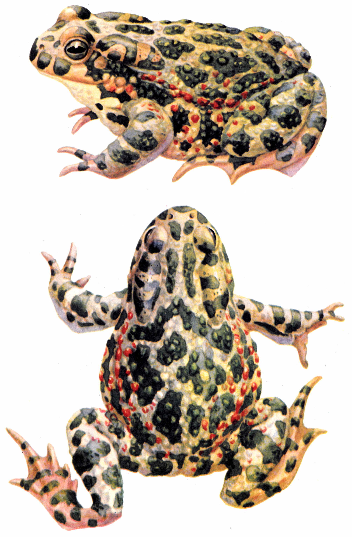 Жаба зелёная (лат. Pseudepidalea viridis)