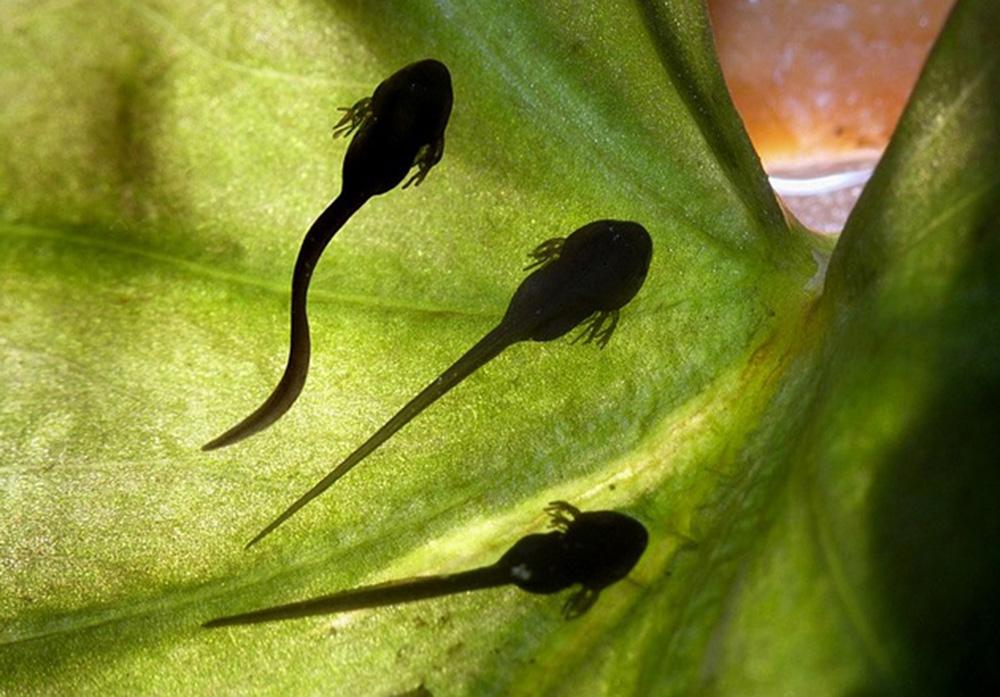 Лягушка прудовая (лат. Pelophylax lessonae)