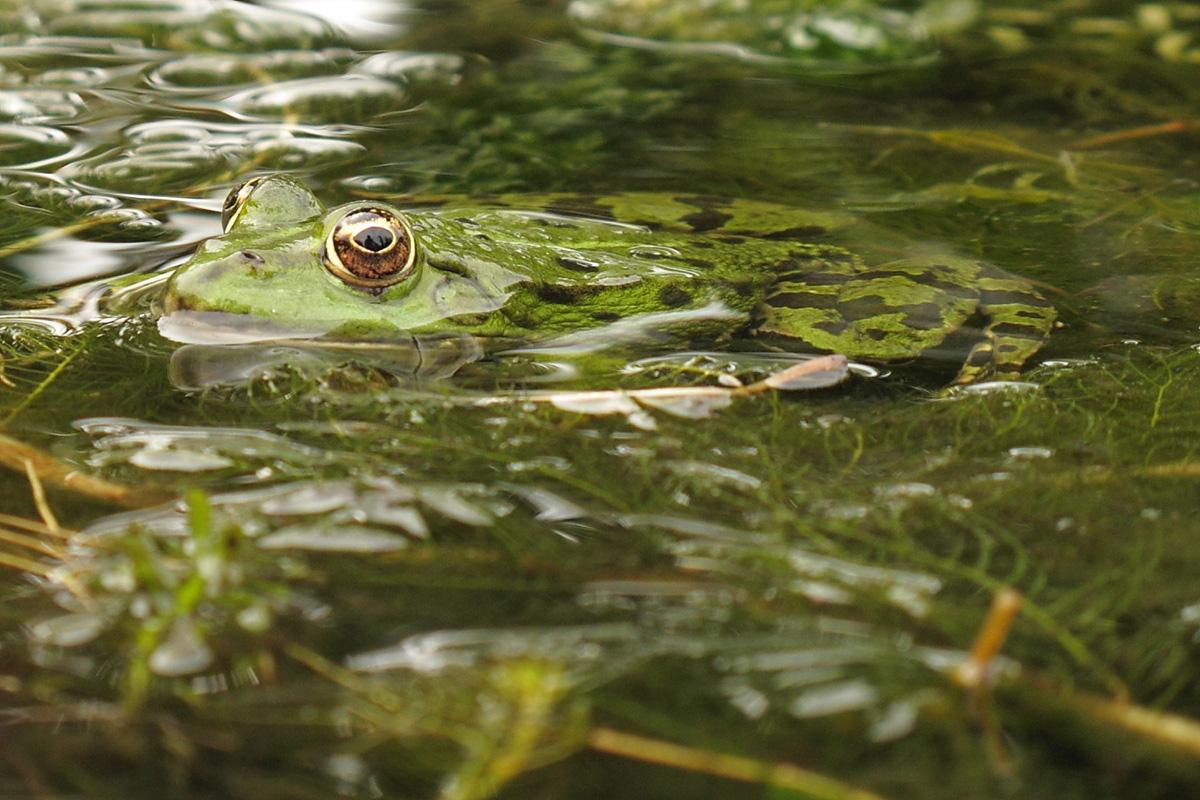 Лягушка съедобная (лат. Pelophylax esculentus)