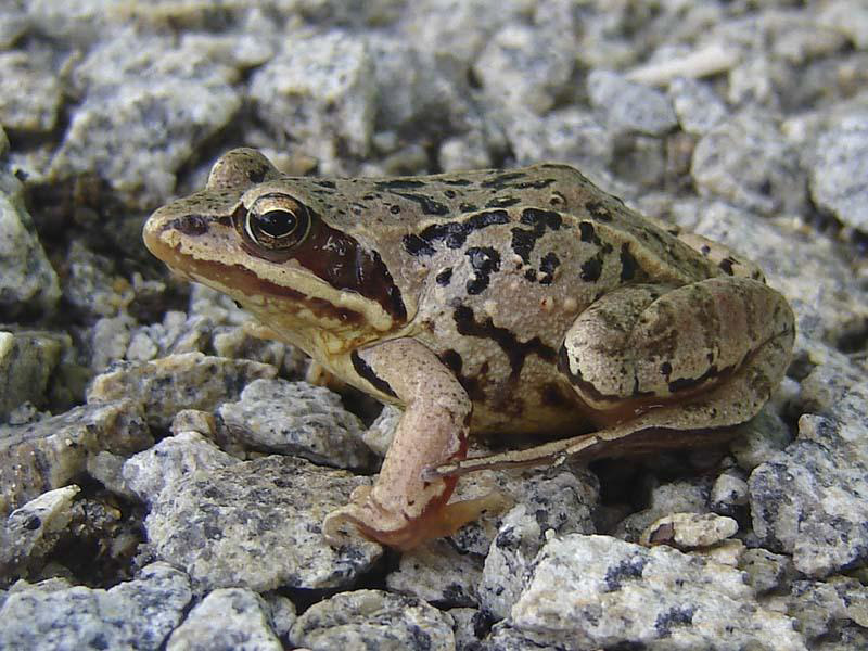 Лягушка остромордая (лат. Rana arvalis)