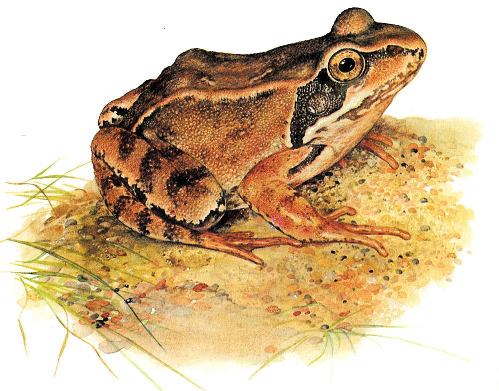 Лягушка травяная (лат. Rana temporaria)