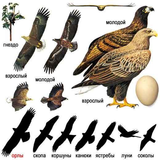 Орлан-белохвост (лат. Haliaeetus albicilla)