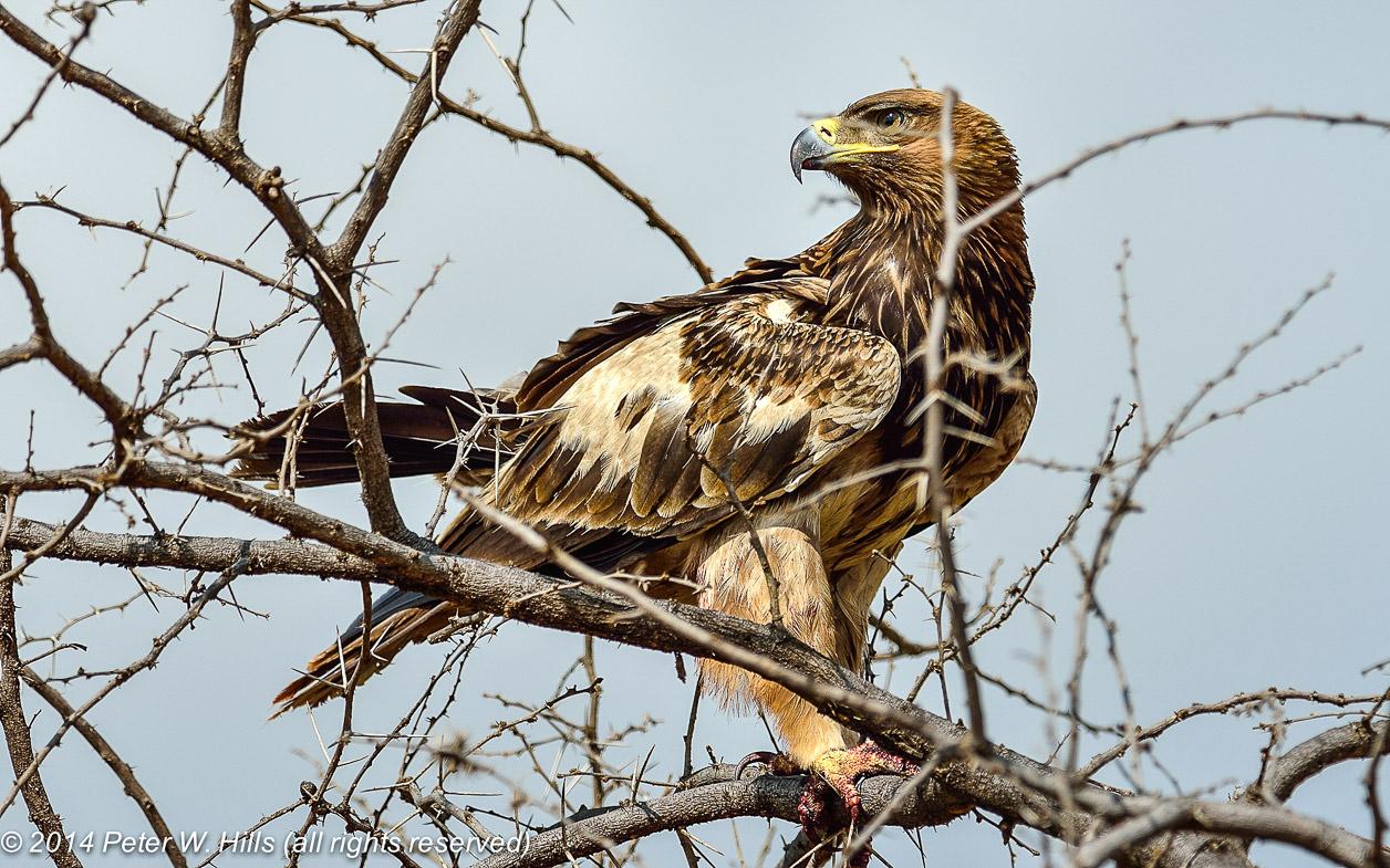 Степной орел (лат. Aquila nipalensis)