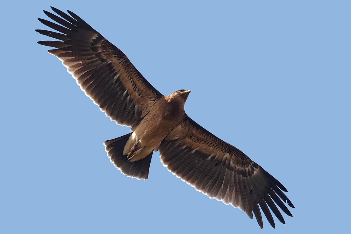 Большой подорлик (лат. Aquila clanga)